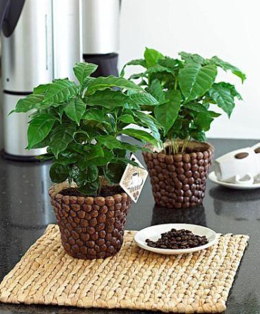 caf ier et son pot d coratif plantes exotiques www. Black Bedroom Furniture Sets. Home Design Ideas