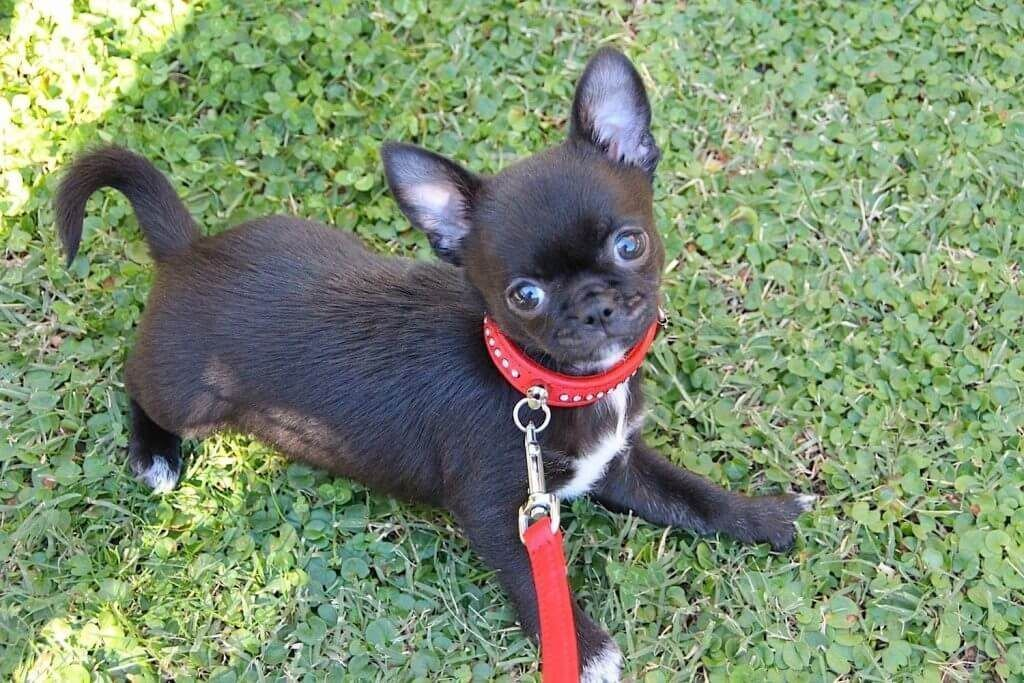 Caminar Correa Chihuahua Chihuahua Chihuahua Puppies Chihuahua Love Baby Chihuahua
