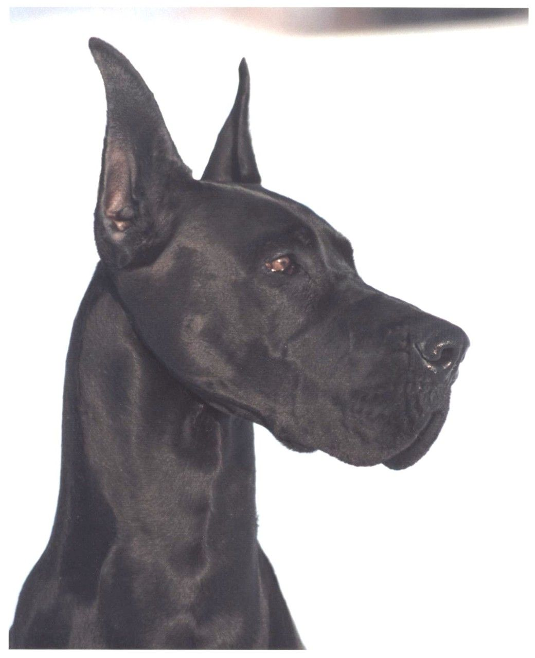 Danes Look Cooler With Cropped Ears Great Dane Dogs Dogs