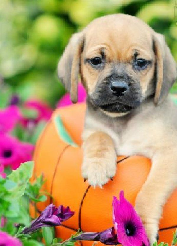Pin By Naomi H On I Love Puggles Cute Animals Cute Little