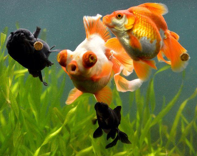Pin On Fancy Goldfish