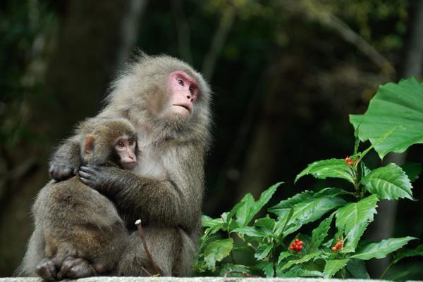 トレッキング ハイキングの屋久島ネイチャー企画フィールド 日本最大の体験 遊び予約サイトasoview 屋久島 動物 ニホンザル