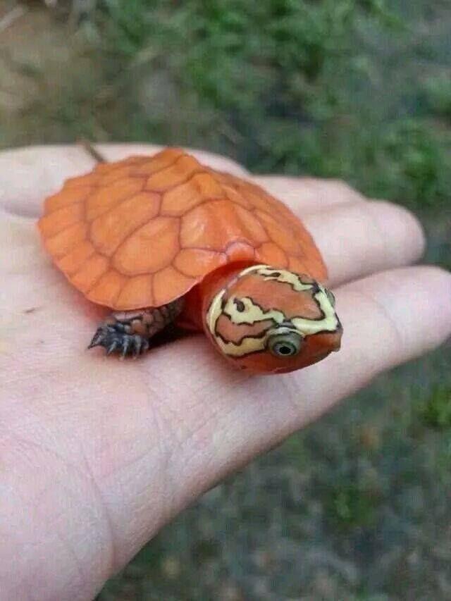 Un bebé de color naranja tortuga inusualmente brillante de cabeza ...