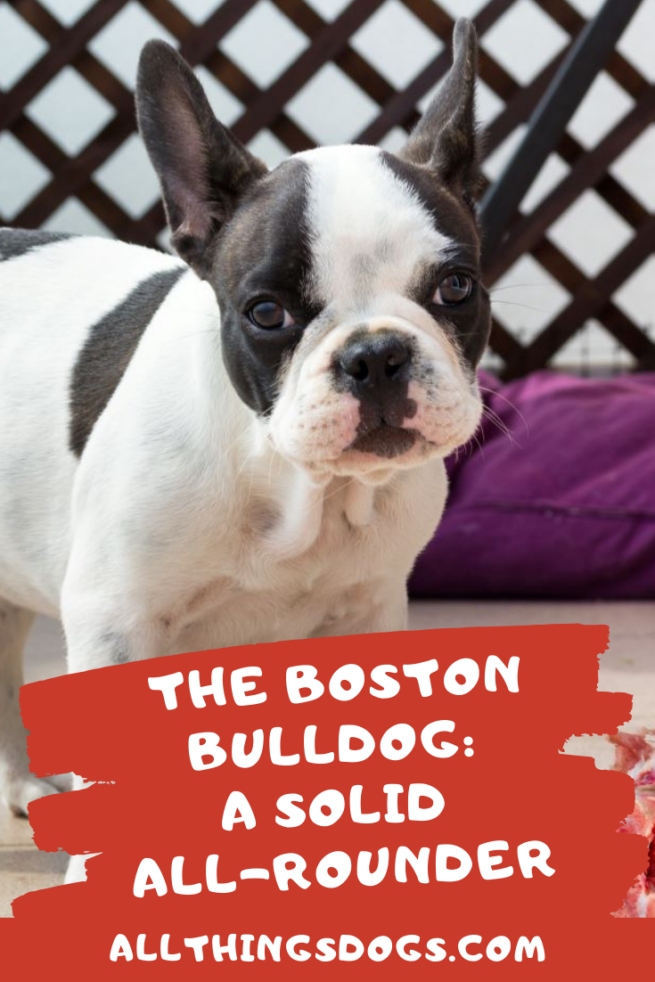 The Boston Bulldog A Solid All Rounder In 2020 Boston Terrier