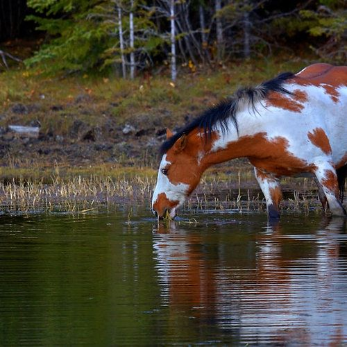 Peace and Quiet While Wild Sorrel Paint Mustang Quenches His Thirst at the Stream.