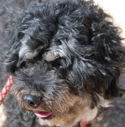 Adopt Roger On Poodle Mix Dogs Poodle