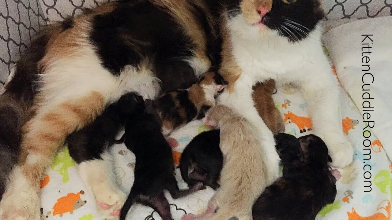 Rescued Momma Kitty Harlequin Her Six Kittens Live Cute Kitten Gif Kitten Cuddle Cute Animal Pictures