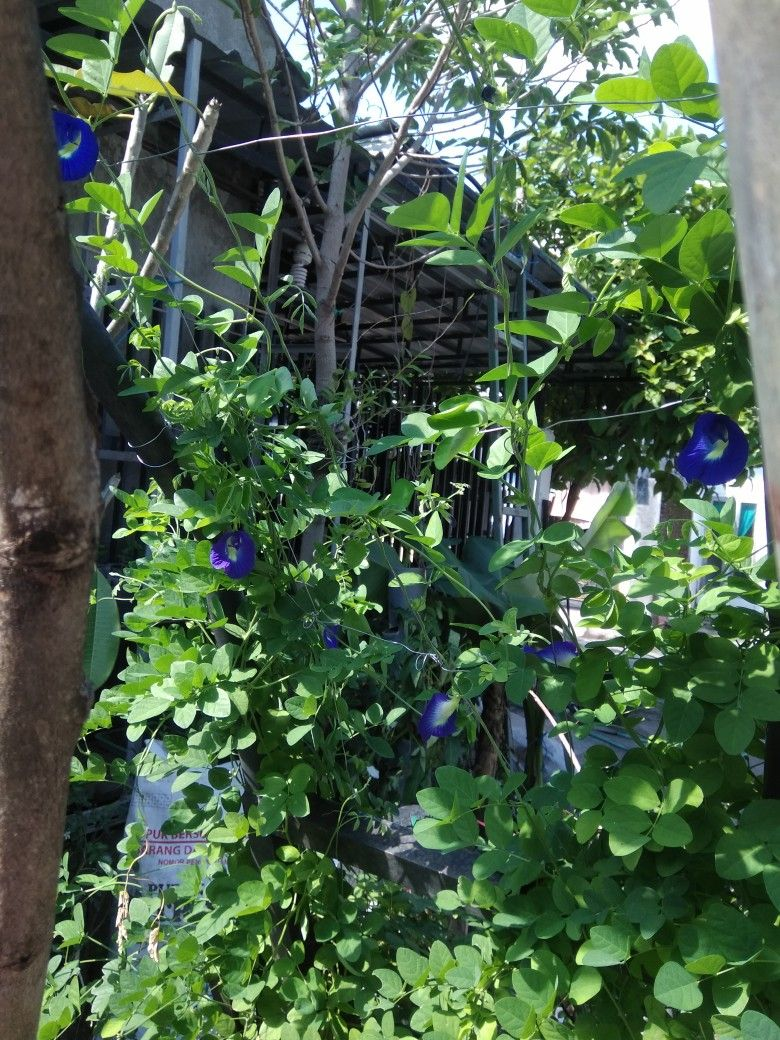 Buterfly Blue Pea Bunga Warna Pewarna
