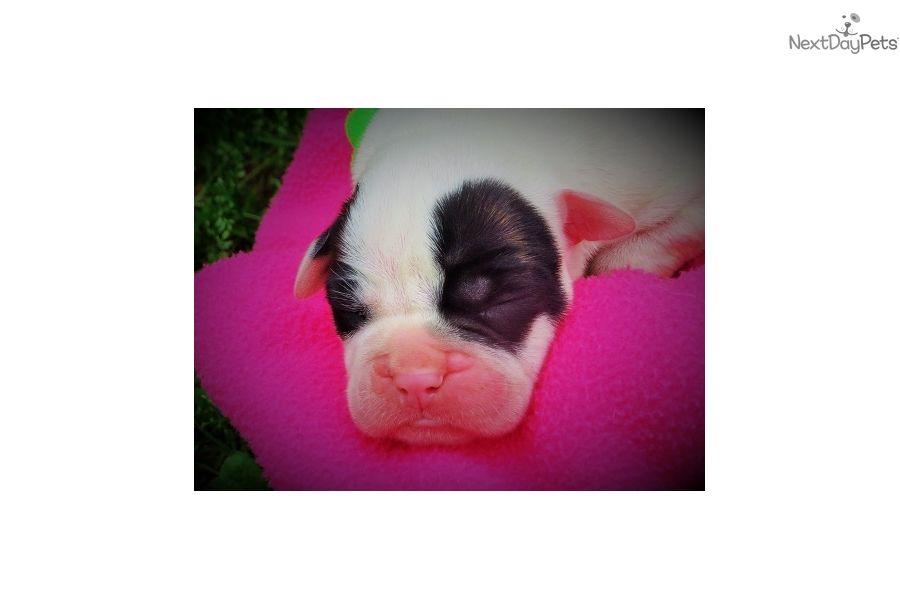 American Bulldog Puppy For Sale Near Joplin Missouri 5a39fc89