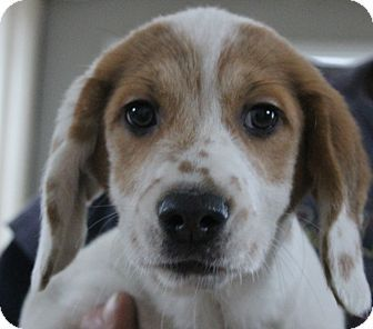 Pin By Uber Wagmore On Adopt A Hound Beagle Mix