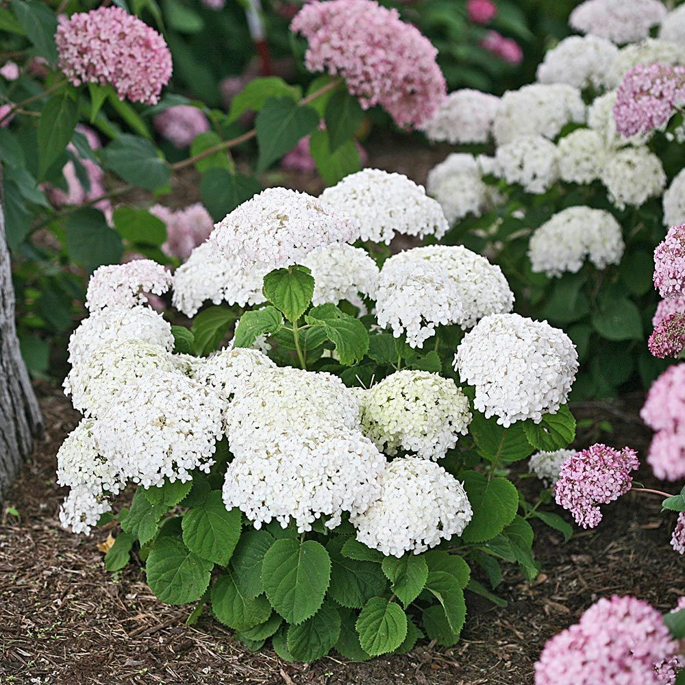 Hydrangea Arborescens Smooth Hydrangea Zone 4 H W 3 5 Smooth