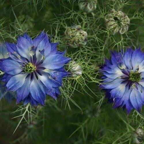 Love In A Mist Indigo Flower Seeds Nigella Damascena Etsy Indigo Flower Flower Garden Plans Flower Seeds