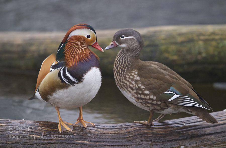 Ducks In Love Mandarin Duck Majestic Animals Animals Beautiful