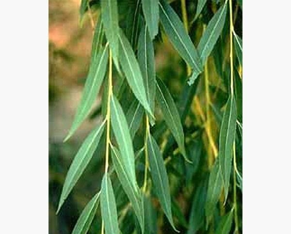 How To Make Aspirin From A Willow Tree Willow Tree Weeping Willow Willow Leaf,Best Cheap Champagne For Wedding Toast