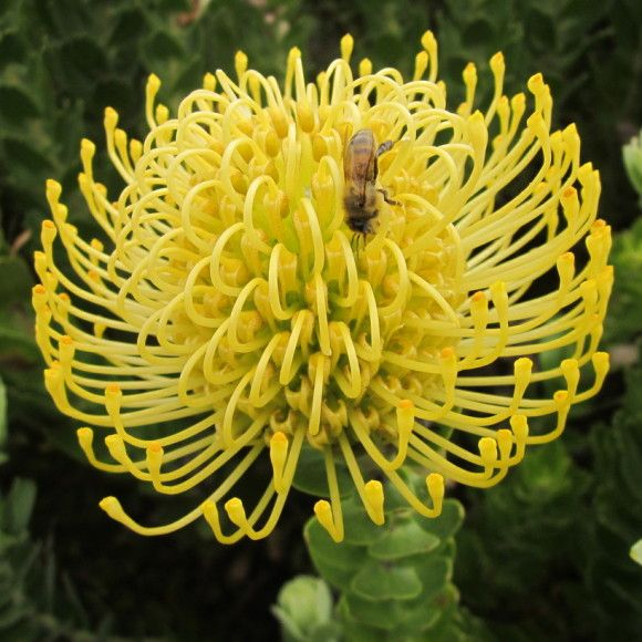High Gold Protea World Plants Protea Plant Small Shrubs
