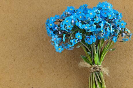 Myosotis - cuidados de las plantas no me olvides | Forget-Me-Not ...