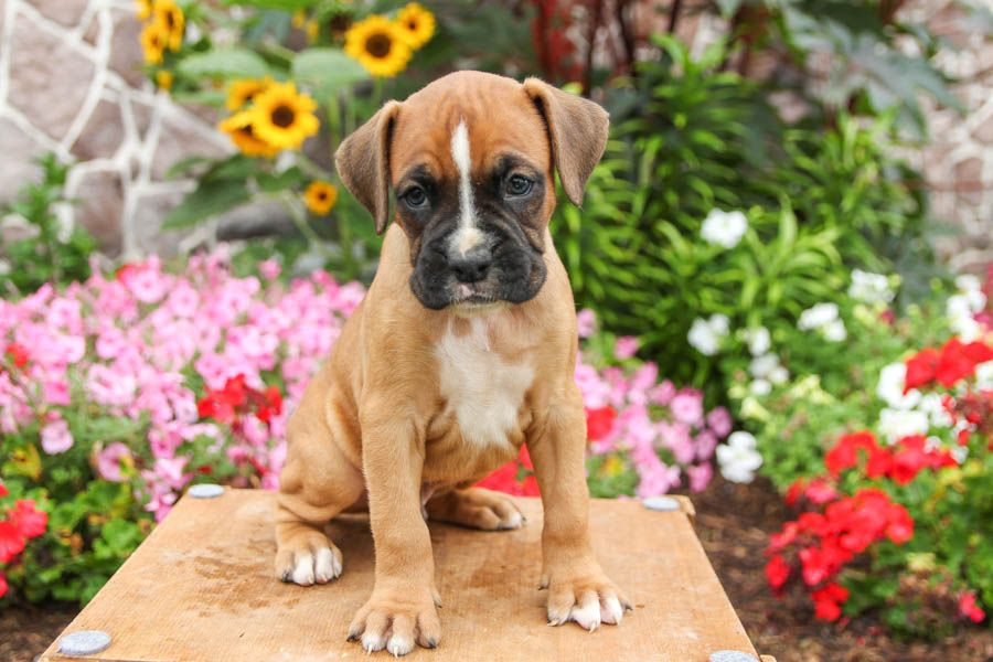 Puppies For Sale Boxer Puppies Dog Breeder Cute Puppies