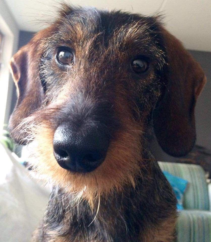 Wirehaired Dachshund Wire Haired Dachshund Wiener Dog Weenie Dogs
