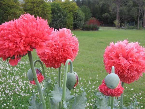 Double peony poppies | Flowers | Pinterest | Peony, Dream garden and