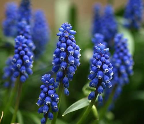Szafirek Muscari Mili Ogrod Na Niebiesko Najpiekniejsze Kwiaty I Rosliny Ozdobne Grapes Muscari Plants