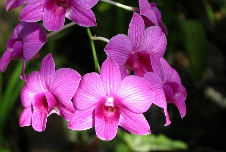 Storczyk Dendrobium Kwiaty Doniczkowe Plants Flowers Rose