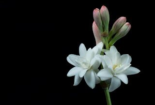 Flores Nocturnas Ii Flores Y Plantas Pinterest Fleurs