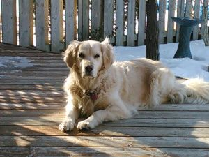 Bonnieview Kennels Golden Retrievers Mount Forest Ontario