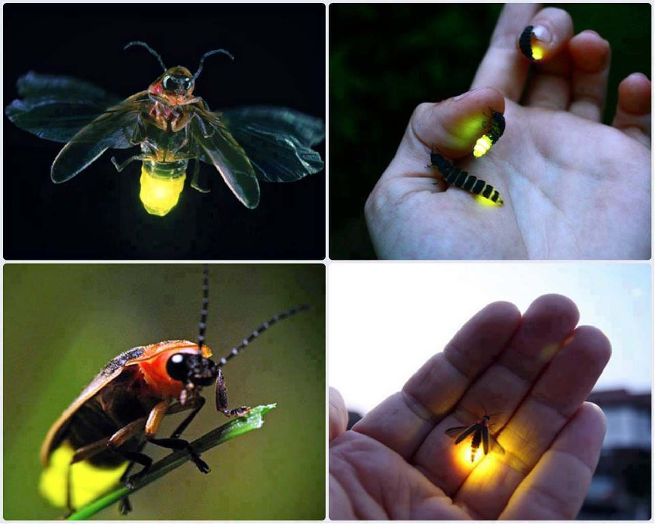 Lightening Bug Fire Fly Firefly