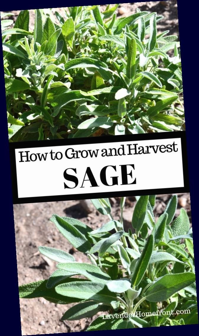 #beginnergardening  #gardeningtips  #gardenplanting  #herbgardening   #plant, #grow <br>Learn how to plant, grow and harvest sage with this easy step-by-step tutorial. Plant a thriving herb garden this year!