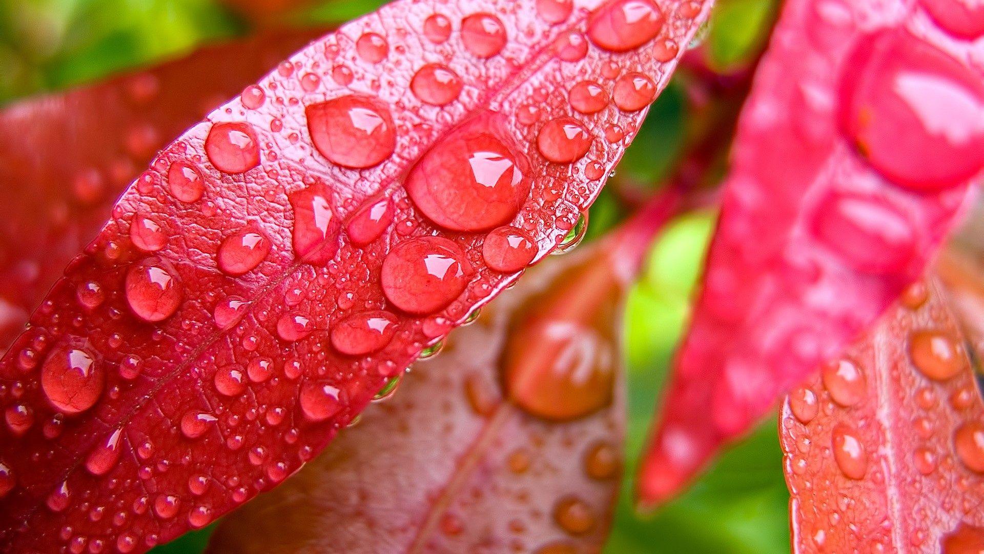 Red Leaves Macro Hd Desktop Wallpaper Rain Wallpapers Water