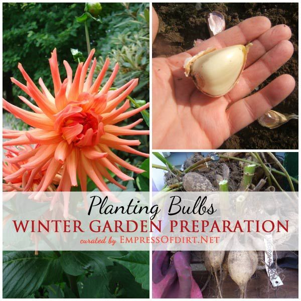 Planting and storing garden bulbs for the winter including garlic, tulips, dahlias, and alliums.
