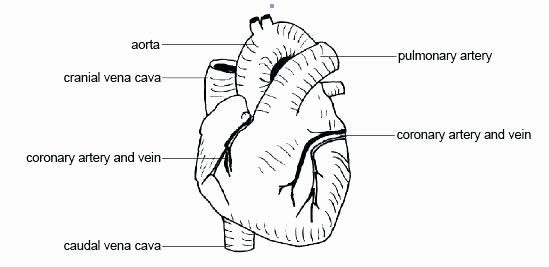 Blank Heart Diagram to Label Heart Printable Coloring