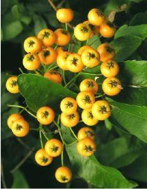 Buisson Ardent Soleil D Or Pyracantha Le Jardin Du Pic Vert Petite Fleur Blanche Buisson Ardent Arbuste