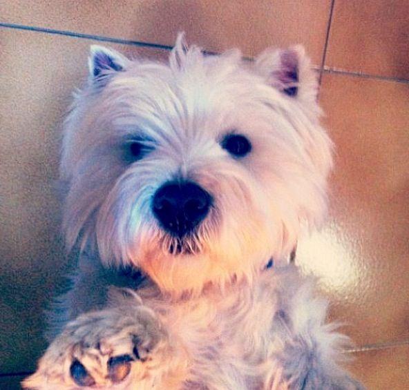 Lol Yyooouuuuu Westie Dogs Westies White Dogs