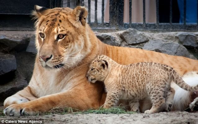 How much does a liger eat