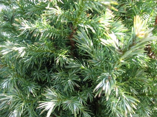 Rich's Foxwillow Pines Nursery, Inc. - Chamaecyparis pisifera – 'True Blue'Sawara Cypress