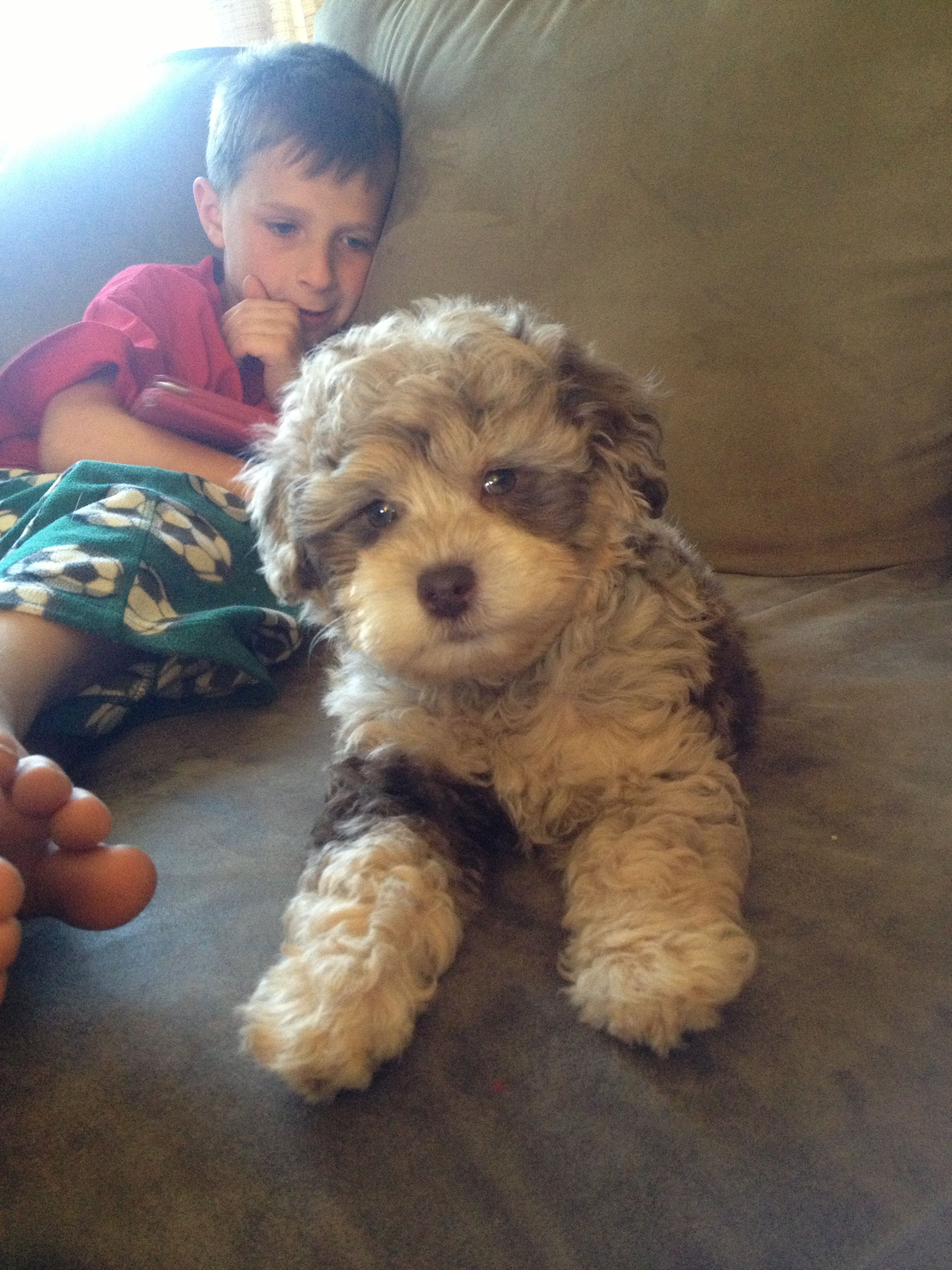 My New Puppy Tucker Miniature Schnoodle Schnoodle Puppies