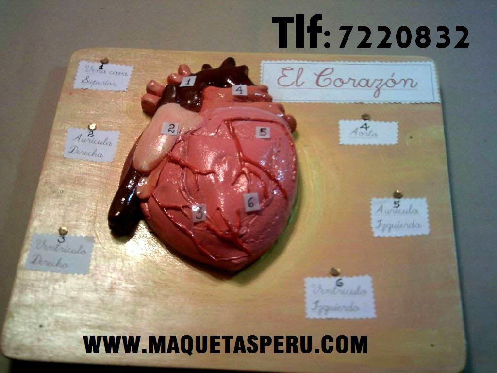 Aparto Circulatorio Corazon Maqueta Maquetas Escolares Anatomía Del Corazón