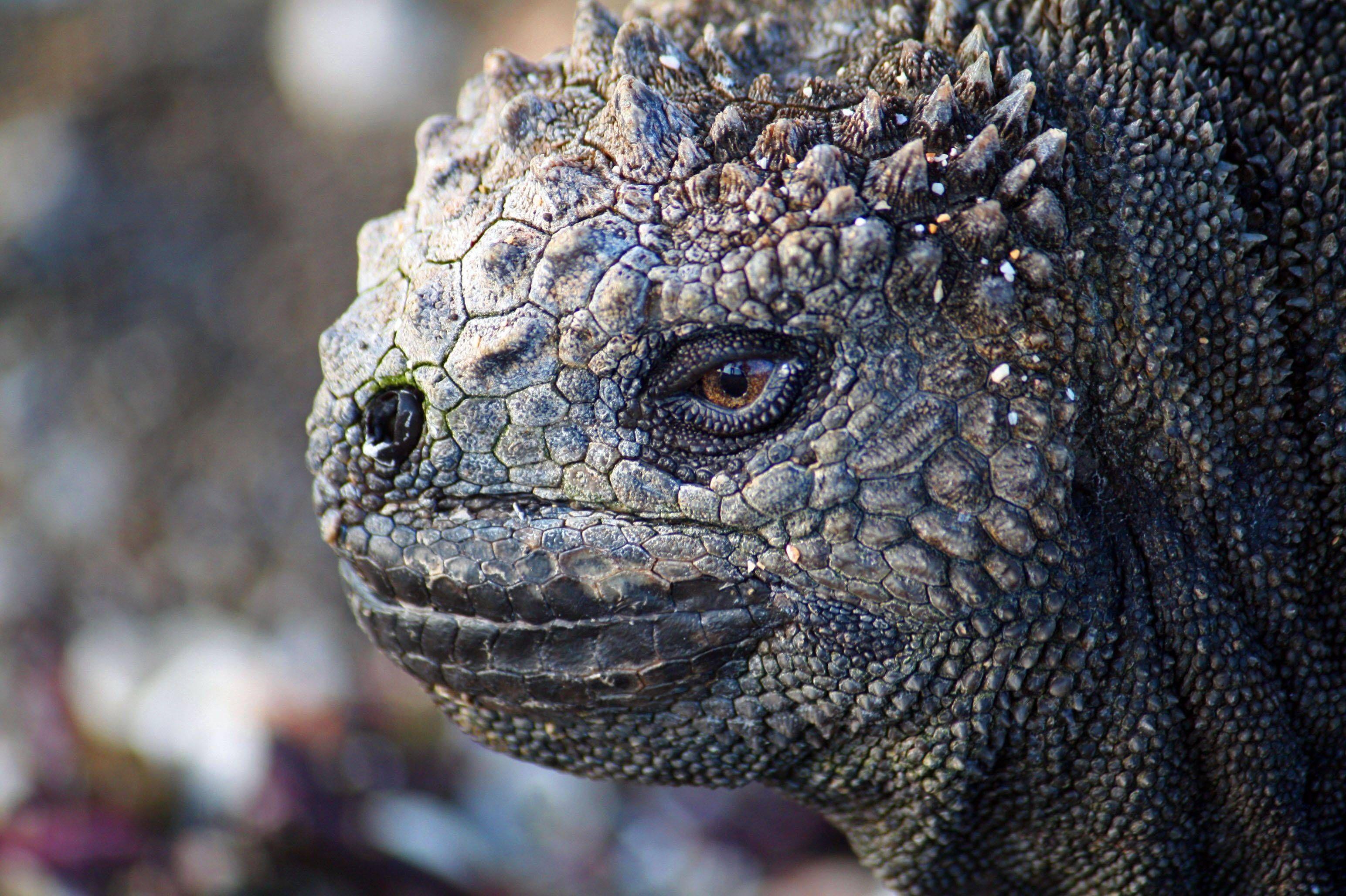 Marine Iguana from the Galapagos | Animals | Pinterest | Reptiles ...