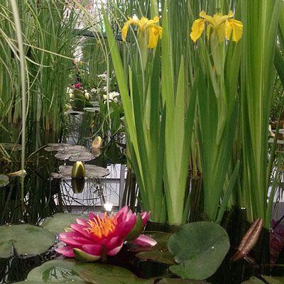 Pond Plants Online Waterside Nursery Pond Plants Plants Gardening For Dummies