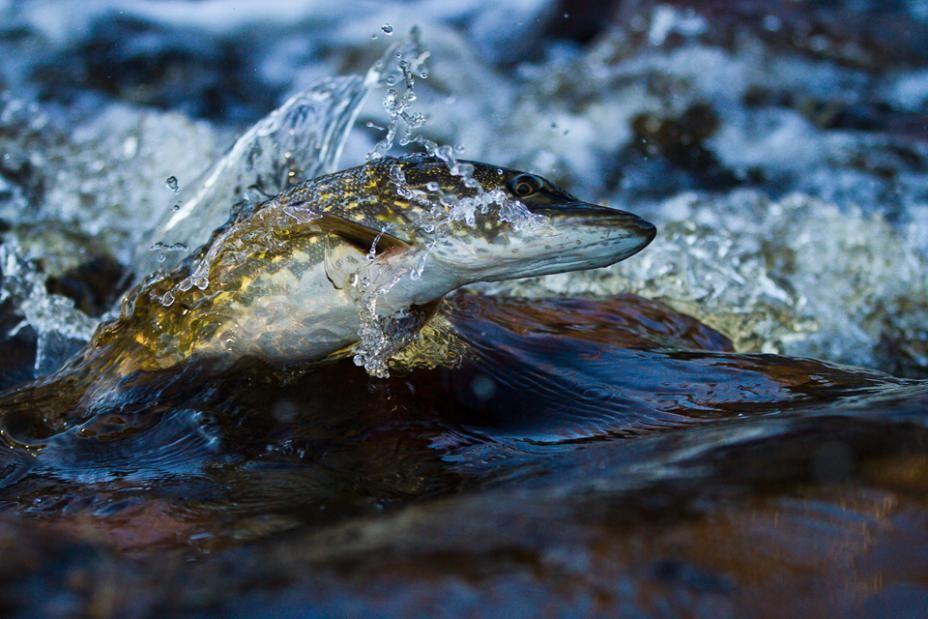 Vuoden Luontokuva 2014 / Surf gäddan. Jan Björk #nature #finland