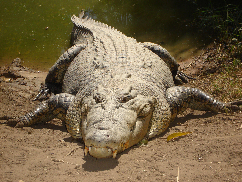 El cocodrilo marino, de agua salada, cocodrilo de estuario, cocodrilo poroso o de mar (Crocodylus porosus) es una especie de saurópsido (reptil) Crocodilia de la familia crocodylidae.3 Es el cocodrilo de mayor tamaño del mundo y el mayor reptil del planeta. Las principales poblaciones habitan zonas pantanosas desde el sudeste asiático hasta el norte de Australia.