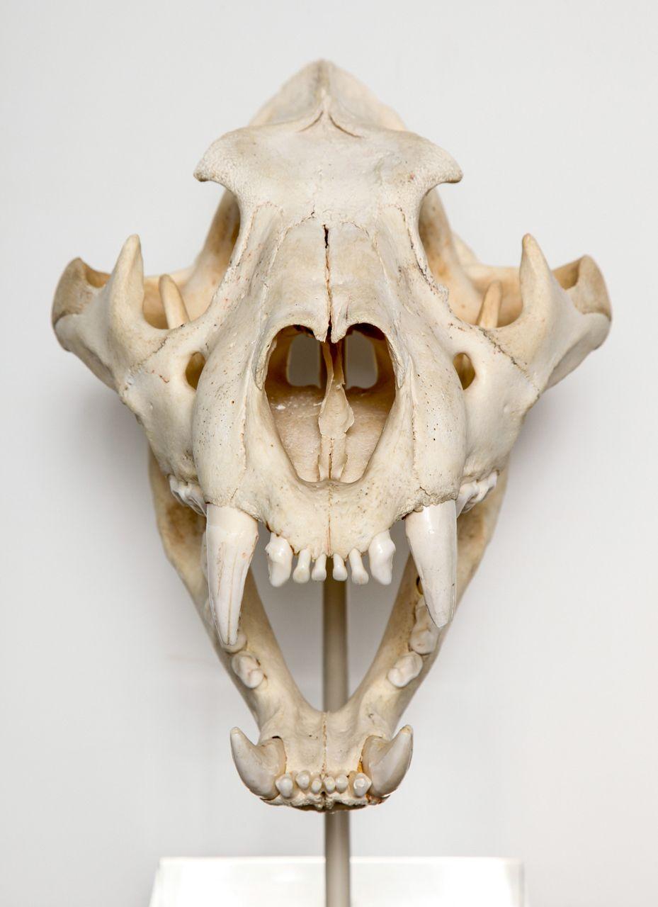 tiger skull cr neos y calaveras cr neos de animales huesos de animales anatom a animal [ 929 x 1280 Pixel ]
