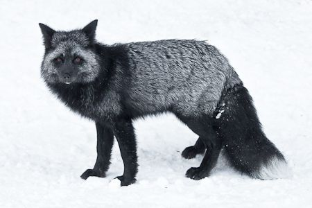 silver fox illinois actually allows me to have one as a pet yay rh pinterest com