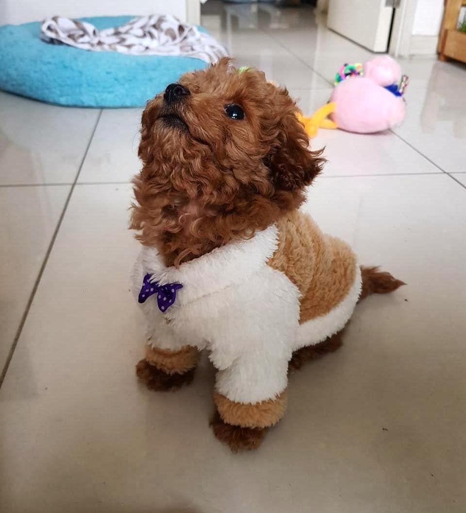 Querido diario, estos días me he portado mejor, al parecer estoy creciendo. Pero mis papis no saben lo que tengo escondido 🤫😇 . . . #toypoodle #poodle #dog #dogsofinstagram #dogstagram #poodlesofinstagram #puppy #poodlelove #dogs #instadog #poodles #doglover #puppylove #cute #toypoodlesofinstagram #poodlepuppy #redtoypoodle #dogoftheday #puppiesofinstagram #doglife #poodlelife #poodlegram #toypoodlelove #redpoodle #toypoodlepuppy #toypoodlegram #instachile #love #happy