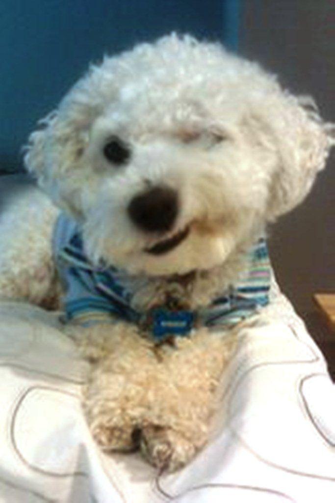 Bichon Won Winking Contest On Hallmark Birthday Card Bichon Dog
