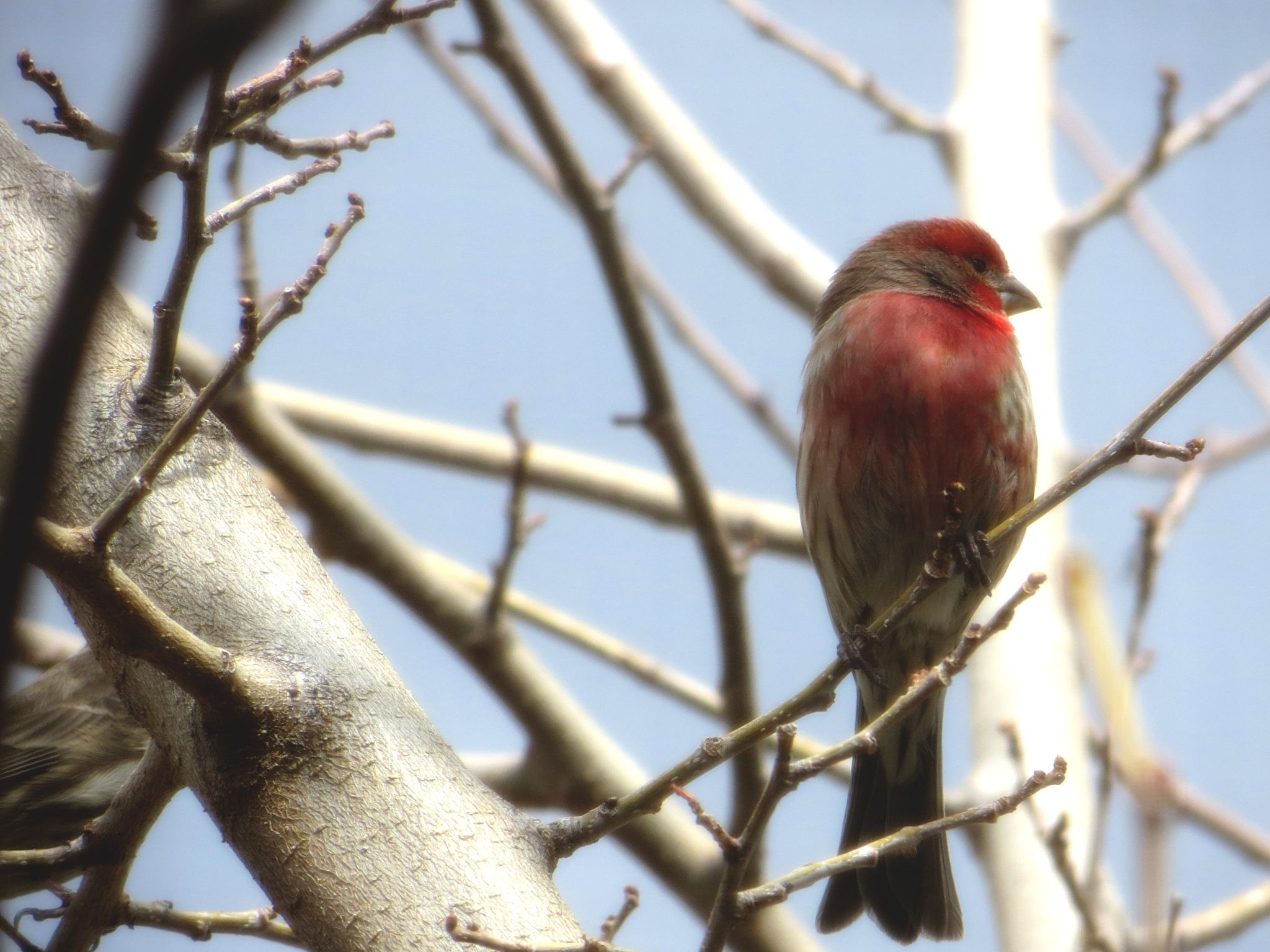 Red house finch - A red house finch in winter.