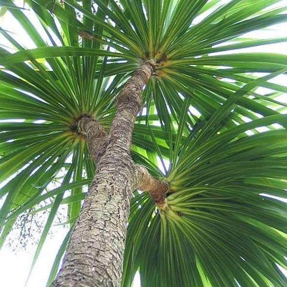 Cordyline Australis Cabbage Palm Architectural Plants Plants Screen Plants