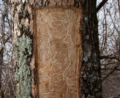 Ash Tree Bark Problem Causes Of Shedding Bark On Ash Trees Ash Tree Bark Tree Tree Bark