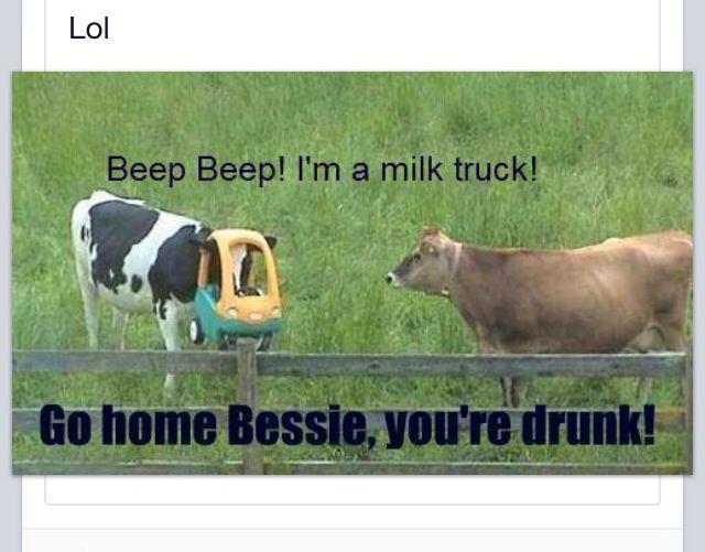 Cow drunk